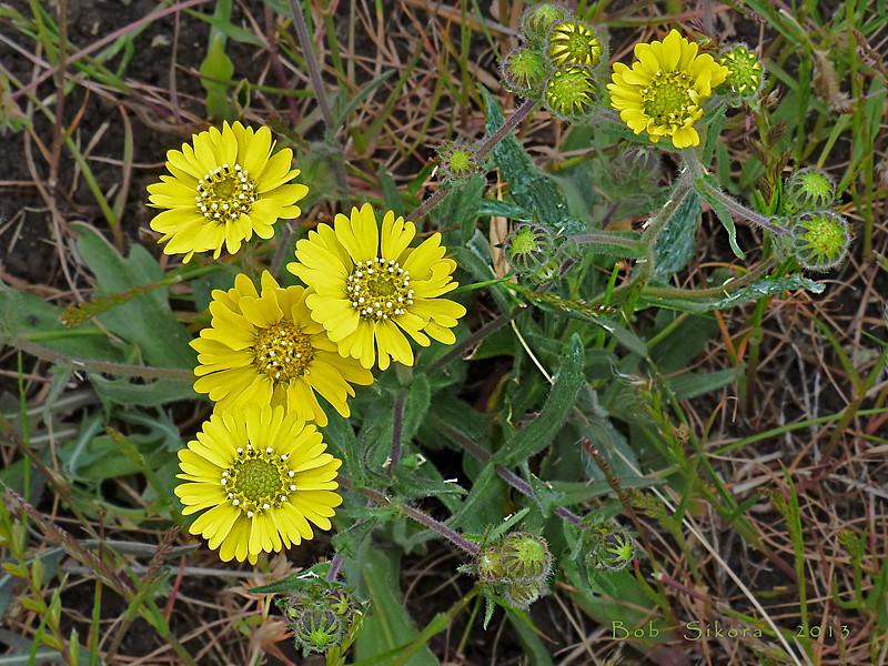 <em>Hemizonia congesta ssp. lutescens</em>, Hayfield Tar Plant, native.  <em>Asteraceae</em> (= <em>Compositae</em>, Sunflower family). Nicasio Ridge, Golden Gate National Recreation Area, Marin Co., CA, 2013/05/09, jm2p347