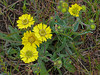 <em>Hemizonia congesta ssp. lutescens</em>, Hayfield Tar Plant, native.  <em>Asteraceae</em> (= <em>Compositae</em>, Sunflower family). Nicasio Ridge, Golden Gate National Recreation Area, Marin Co., CA, 2013/05/09, jm2p347