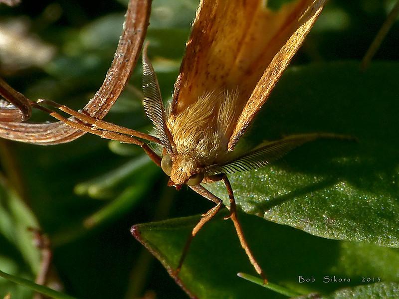 Geometrid moth,<em>Neoterpes edwardsata</em> Keyhoe Beach, Point Reyes National Seashore, Marin Co., CA, 2011/12/21