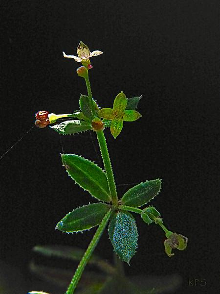 <em>Gallium porrigens var. porrigens</em>, Climbing Bedstraw, native.  <em>Rubiaceae</em> (Madder or Bedstraw family). Edgewood County Park, San Mateo Co., CA, 2011/06/01, jm2p1215