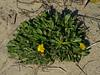 <em>Agoseris apargioides</em> var. <em>eastwoodiae</em>, Coast Dandelion, Eastwood Agoseris, native.  <em>Asteraceae</em> (= <em>Compositae</em>, Sunflower family). Keyhoe Beach, Point Reyes National Seashore, Marin Co., CA 12/21/2011 jm2p234
