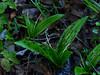 <em>Scoliopus bigelovii</em>, Fetid Adder's Toungue, native.  <em>Liliaceae</em> (Lily family). Carson Ridge, Marin Municipal Water District, Marin Co., CA, 2014/03/07, jm2p1394