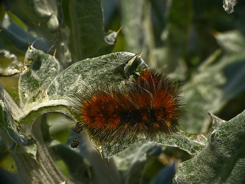 <em>Platyprepia virginalis</em>, Ranchland Tiger Moth, feeding on <em>Cirsium occidentale var. occidentale</em>, Cobweb Thistle, native.   <em>Asteraceae</em> (= <em>Compositae</em>, Sunflower family).  Tomales Point, Point Reyes National Seashore, Marin Co., CA 4/27/2012, jm2p288