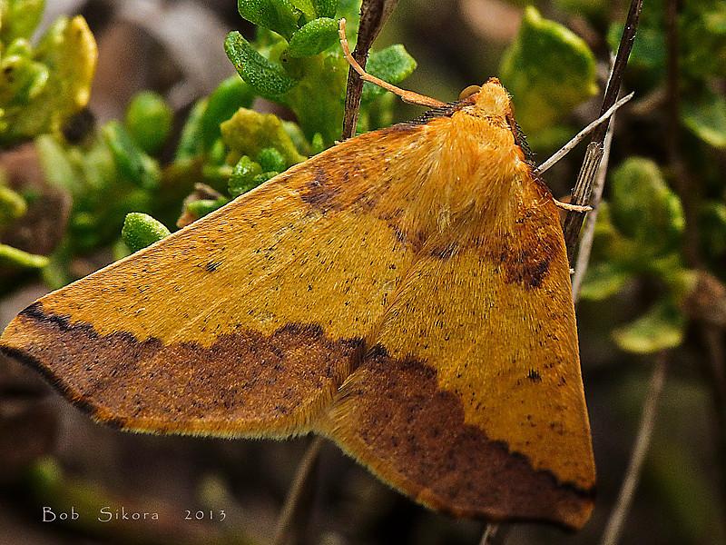 Geometrid moth, <em>Neoterpes edwardsata</em> Bull Point Trail, Point Reyes National Seashore, Marin Co., CA, 2013/07/26.