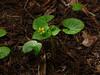 <em>Viola sempervirens</em>, Redwood Violet, native.  <em>Violaceae</em> (Violet family). Cowell Redwoods State Park,  Santa Cruz Co., CA  4/13/09  jm2p1275