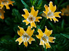 <em>Mimulus aurantiacus</em> var. <em>bifidus</em>, Sticky, or Orange-bush, Monkeyflower,  native.  <em>Phyrmaceae</em>  (<em>Mimulus</em>) Ex <em>Scrophulariaceae</em>. Arroyo Seco Road, Monterey Co., CA 5/1/08   jm2p991