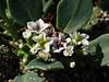 <em>Heliotropium curassavicum</em>,  Seaside Heliotorpe, native.  <em>Boraginaceae</em> (Borage family). Abbotts Lagoon, Point Reyes National Seashore, Marin Co., CA  2011/08/29  jm2p475