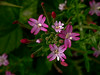 <em>Epilobium ciliatum ssp. watsonii</em>, Fringed or San Francisco Willowherb, native.  <em>Onagraceae</em> (Evening Primrose family). Coastal Bluff, Presidio, Golden Gate National Recreation Area, San Francisco, CA  2011/06/13,  jm2p943