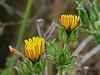 <em>Helminthotheca (Picris) echioides</em>, Bristly Ox-tongue, Europe.  <em>Asteraceae</em> (= <em>Compositae</em>, Sunflower family). Millerton Point, Tomales Bay State Park, Marin Co., CA, 2013/07/15, jm2p346