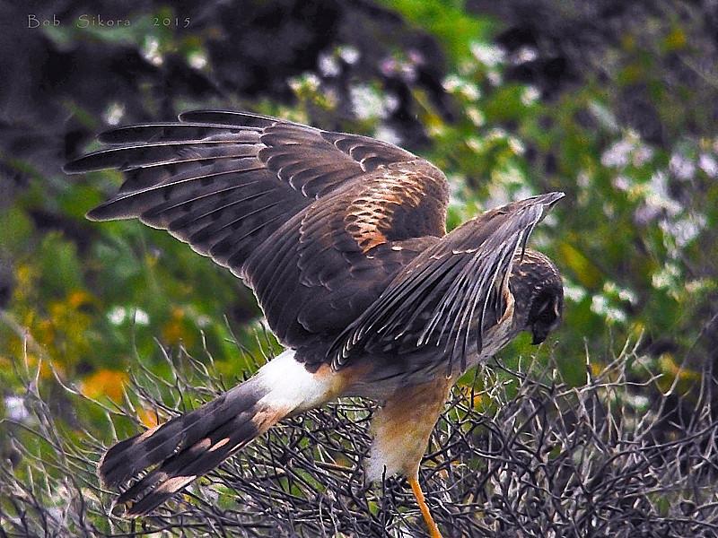 Northern Harrier, <em>Circus cyaneus</em> Pierce Point Ranch, Point Reyes National Seashore, Marin Co., CA &#9664 Alliaceae ----- Cyperaceae &#9658