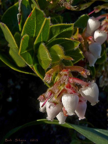 <em>Arctostaphylos imbricata</em>, San Bruno Mountain Manzanita, native, rare.   <em>Ericaceae</em> (Heath family). San Bruno Mountain, San Mateo County, CA,  2013/03/10,  jm2p694