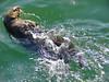 Sea Otter, <em>Enhydra lutris</em> Moss Landing, Monterey Co., CA 6/14/09  &#9664 Celastraceae ----- Convolvulaceae &#9658