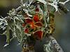 <em>Teloschistes chrysophthalmus</em>, Gold-eye Lichen Olompali State Park, Marin Co., CA, 2014/02/15