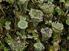 <em>Cladonia sp.</em> Olompali State Park, Marin Co., CA, 2014/01/15