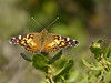 American Painted Lady, <em>Vanessa virginiensis</em> Coastal Trail, Golden Gate National Recreation Area, Marin Co., CA 2012/06/15