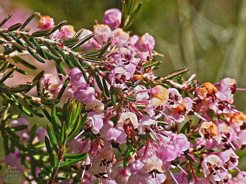Erica caniculata, Hairy Gray Heather, S.Africa.  <em>Ericaceae</em> (Heath family). CA 1 nr. Muir Beach Overlook, Marin Headlands, Golden Gate National Recreation Area, Marin Co., CA, 2011/03/28, JM2p702 (not shown).