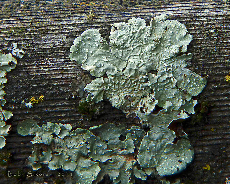 <em>Flavopunctelia flaventior</em>, Speckled Greenshield Olompali State Park, Marin Co., CA, 2012/02/15