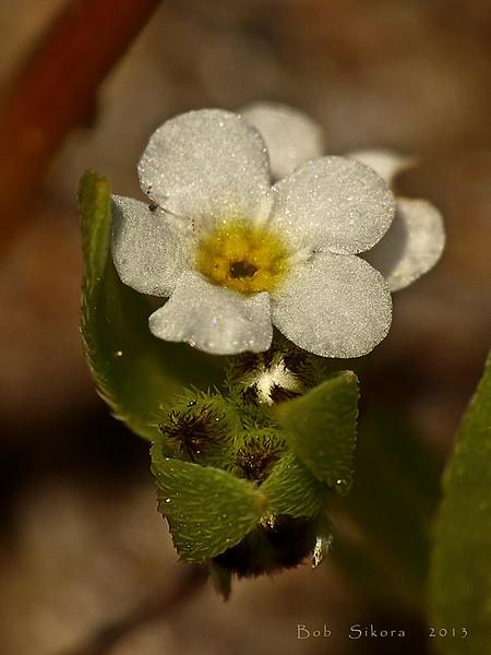 <em>Plagiobothrys reticulatus var. rossianorum</em>,  Fort Ross Popcorn Flower, native.  <em>Boraginaceae</em> (Borage family). Abbotts Lagoon, Point Reyes National Seashore, Marin Co., CA, 2013/04/17, jm2p508