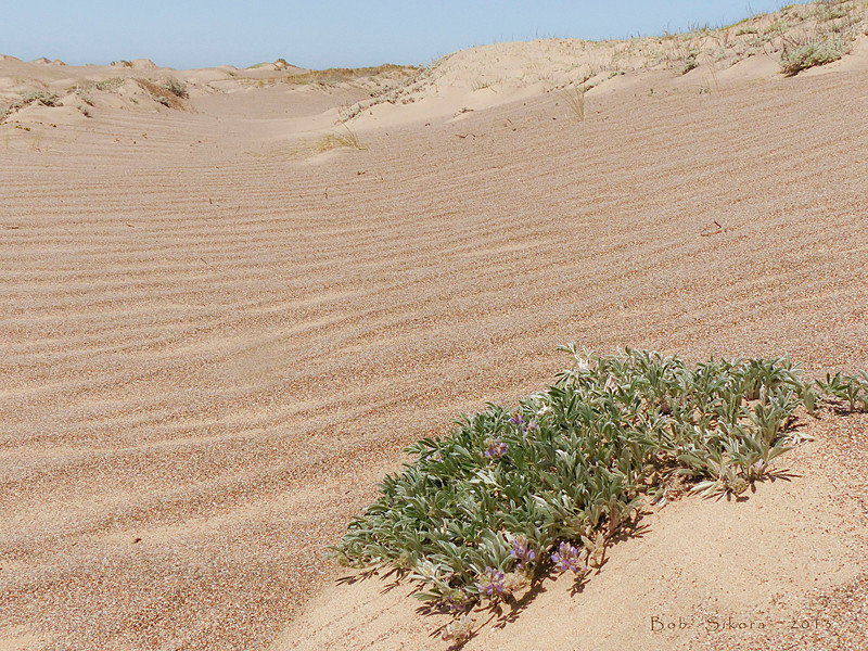 <em>Lupinus tidestromii</em>, Tidestrom's Lupine. native.  <em>Fabaceae</em> (=<em>Leguminosae</em>, Legume family). Abbotts Lagoon, Point Reyes National Seashore, Marin Co., CA, 2013/04/17, jm2p778.
