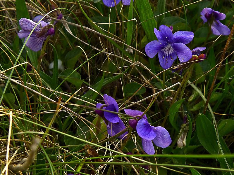 <em>Viola adunca</em>, Blue Violet, native.  <em>Violaceae</em> (Violet family). Marshall Beach Trail, Point Reyes National Seashore, Marin Co., CA 2012/03/19  jm2p1279