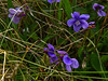 <em>Viola adunca</em>, Blue Violet, native.  <em>Violaceae</em> (Violet family). Marshall Beach Trail, Point Reyes National Seashore, Marin Co., CA 2012/03/19  jm2p1279