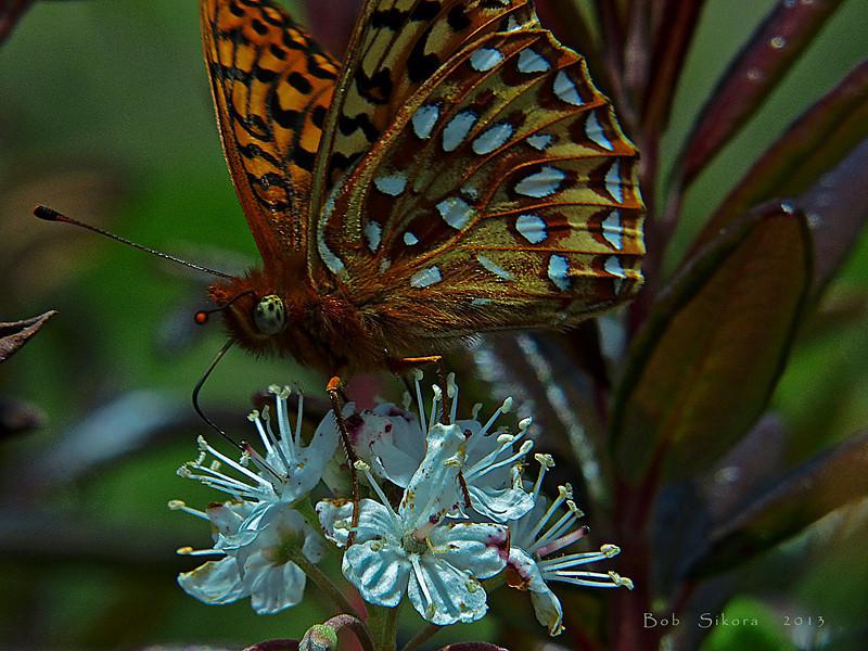 "Rhododendron columbianum, Western Labrador Tea, native.  <em>Ericaceae</em> (Heath family). Speyeria zerene puntareyes, ""Myrtle"" Zerene Fritillary Bull Point Trail, Point Reyes National Seashore, Marin Co., CA"