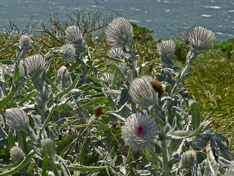 <em>Cirsium occidentale var. occidentale</em>, Cobweb Thistle, native.   <em>Asteraceae</em> (= <em>Compositae</em>, Sunflower family). <em>Platyprepia virginalis</em>, Ranchland Tiger Moth Tomales Point, Point Reyes National Seashore, Marin Co., CA 4/27/2012, jm2p288