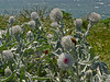 <em>Cirsium occidentale var. occidentale</em>, Cobweb Thistle, native.   <em>Asteraceae</em> (= <em>Compositae</em>, Sunflower family). <em>Platyprepia virginalis</em>, Ranchland Tiger Moth Tomales Point, Point Reyes National Seashore, Marin Co., CA 4/27/2012, jm2p288