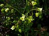 <em>Emmenanthe pendulaflora</em> var. <em>pendulaflora</em>, Whispering Bells, native. <em>Boraginaceae</em> (Borage family), [ex <em>Hydrophyllaceae</em>]. Silver Peak Wilderness, Los Padres NF, Monterey Co., CA  6/15/09 jm2p470