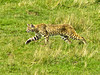 Bobcat, <em>Felis rufus</em> Point Reyes National Seashore, Marin Co., CA 2012/03/19