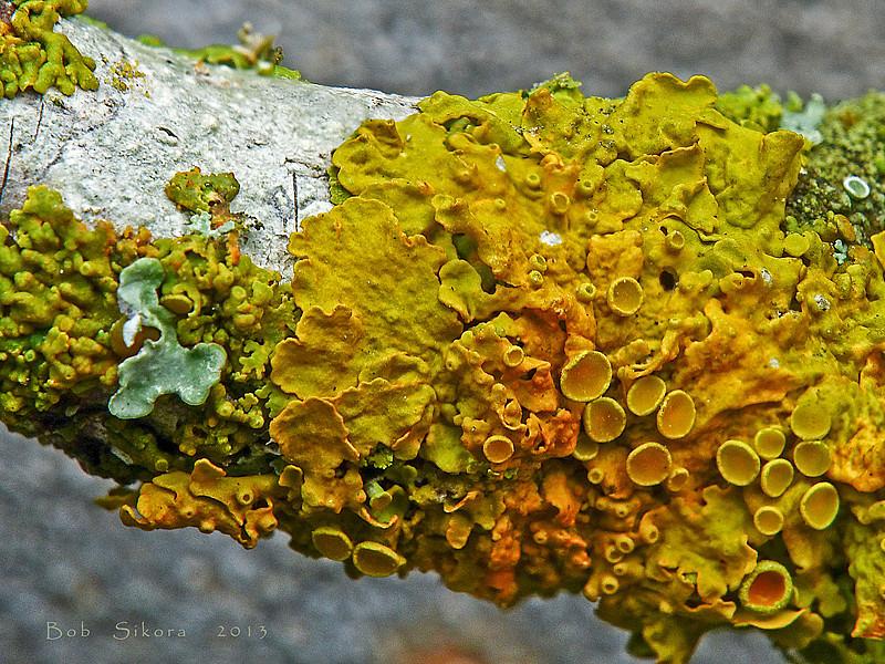<em>Xanthoria parietina</em>, Maritime Sunburst Lichen Olompali State Park, Marin Co., CA, 2014/02/15