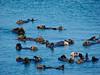 Sea Otters, <em>Enhydra lutris</em> Moss Landing, Monterey Co., CA 6/14/09      ◄ Aizoaceae       -----        Apiaceae►