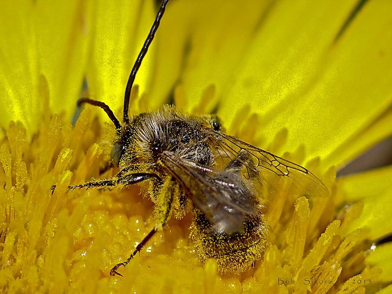Grindelia stricta var. platyphylla, Dune Gumplant<br /> Long-horned Bee, Melissodes sp.<br /> Abbotts Lagoon, Point Reyes National Seashore, Marin Co., CA
