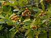 <em>Pittosporum undulatum</em>, Victorian Box, Mock Orange, Australia.  Invasive.  <em>Pittosporaceae</em>  (Pittosporum family). Palomarin Beach Trail, Point Reyes National Seashore, Marin Co., CA,  2013/02/13,  jm2p1001