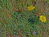 <em>Hypochaeris radicata</em>, Rough or Hairy Cat's Ear, Europe.  <em>Asteraceae</em> (= <em>Compositae</em>, Sunflower family). Tomales Bay Trail, Point Reyes National Seashore, Marin Co., CA, 2013/05/03, jm2p358