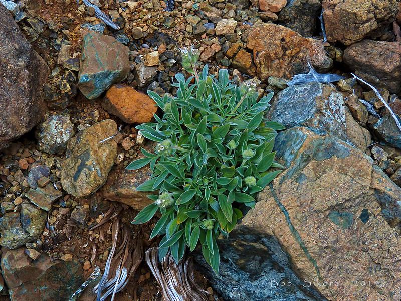 <em>Phacelia corymbosa</em>, Serpentine Phacelia, native.  <em>Boraginaceae</em> (Borage family). The Cedars, Sonoma Co., CA, 2014/04/27, jm2p492