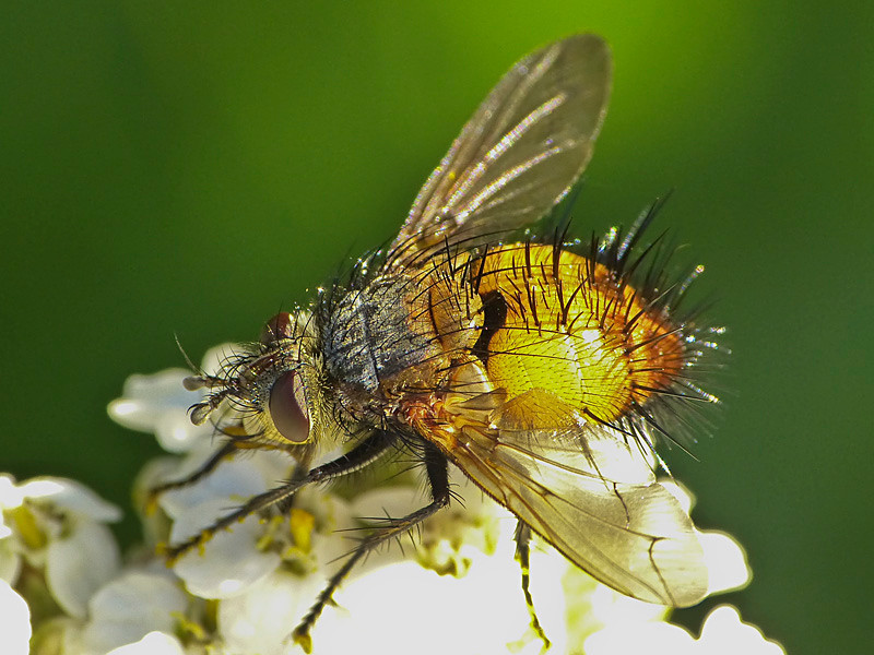 Tachinid fly, <em>Protodejeania</em> sp.? Coastal Trail, Golden Gate National Recreation Area, Marin Co., CA 2012/06/05