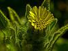 <em>Madia sativa</em>, Coastal Tarweed, native.  <em>Asteraceae</em> (= <em>Compositae</em>, Sunflower family). Coastal Trail, Muir Beach, Golden Gate National Recreation Area, Marin Co., CA  2012/06/15  jm2p381