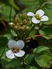 "<em>Nasturtium officinale</em>, Watercress, native.  <em>Brassicaceae</em> (=<em>Cruciferae</em>, Mustard family). ""G"" Ranch; Abbotts Lagoon, Point Reyes National Seashore, Marin Co., CA, 2013/05/15, jm2p557"