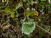 <em>Cladonia sp.</em> Olompali State Park, Marin Co., CA, 2014/02/15