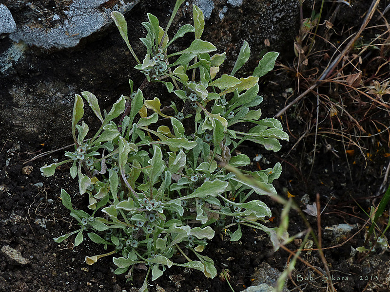 <em>Hesperevax sparsiflora, var. sparsiflora,</em> Few-flowered Evax, native.  <em>Asteraceae</em> (= <em>Compositae</em>, Sunflower family). Nicasio Ridge, Golden Gate National Recreation Area, Marin Co., CA, 2013/05/09,  jm2p348.
