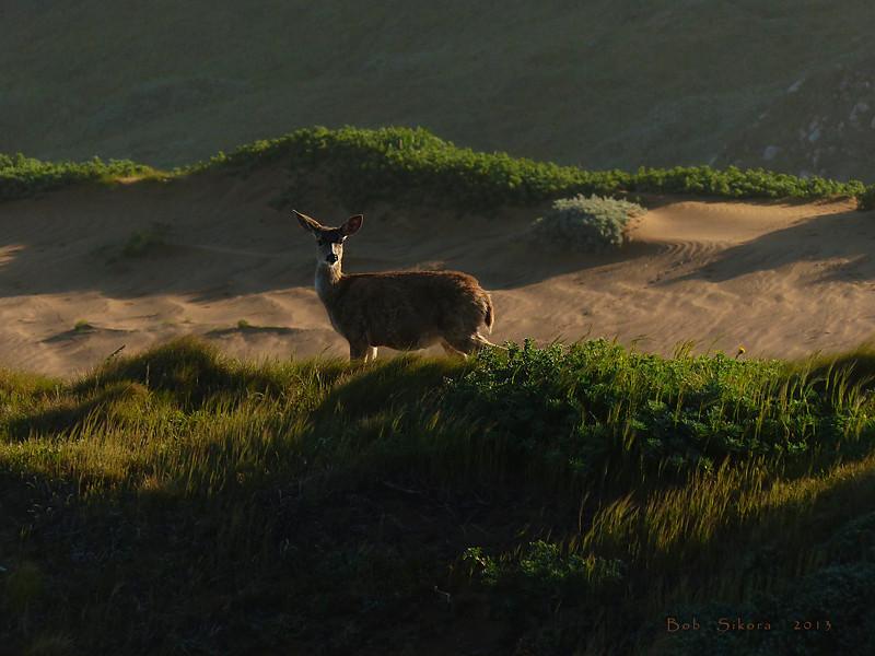 Black-tailed Deer, <em>Odocoileus hemionus</em> Point Reyes, Point Reyes National Seashore, Marin Co., CA, 2013/04/10.