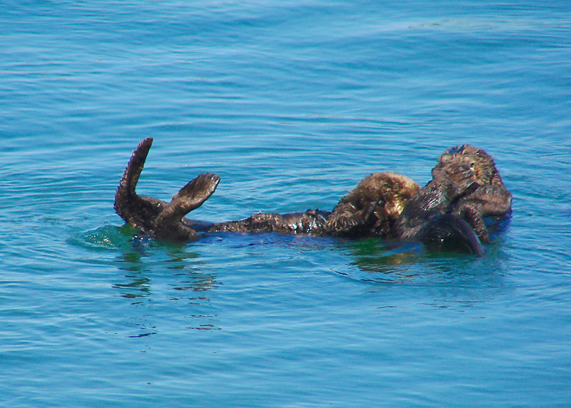 Sea Otters,<em> Enhydra lutris</em>. Moss Landing, Monterey Co., CA 6/14/09  &#9664  Boraginaceae ----- Brassicaceae &#9658