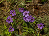 <em>Sisyrinchium bellum</em>, Blue-eyed Grass, native.  <em>Iridaceae</em> (Iris family). Kirby Cove, Golden Gate National Recreation Area, Marin Co., CA 2012/04/07  jm2p1360