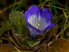 <em>Phacelia insularis var. continentis</em>, North-coast Phacelia, native, rare.  <em>Boraginaceae</em> (Borage family), [ex <em>Hydrophyllaceae</em>]. Point Reyes, Point Reyes National Seashore, Marin Co., CA,  2013/03/01,  jm2p496