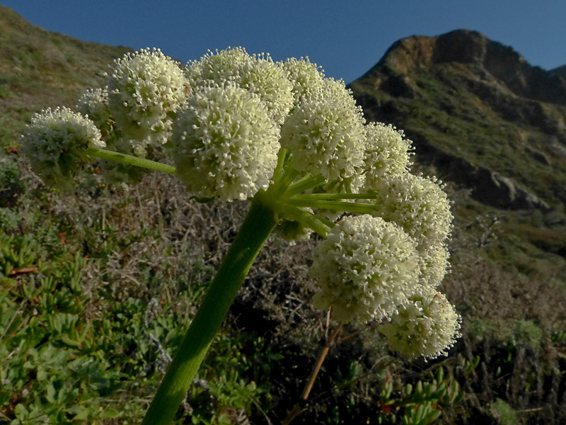 <em>Angelica hendersonii</em>, Coastal or Henderson Angelica, native.  <em>Apiaceae</em> (= <em>Umbelliferae</em>, Carrot family). Keyhoe Beach, Point Reyes National Seashore, Marin Co., CA 12/21/2011 jm2p175