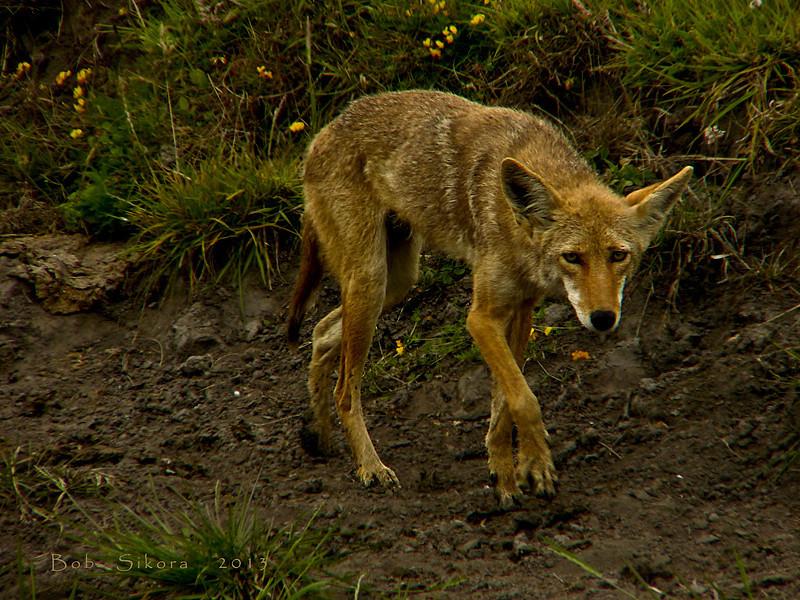 Coyote, <em>Canis latrans</em> Drakes Estero Trail, Point Reyes National Seashore, Marin Co., CA, 2013/07/26  &#9664 Crassulaceae ----- Ericaceae &#9658