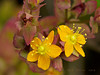<em>Hypericum anagalloides</em>, Tinker's Penny, native.  <em>Hypericaceae</em> (St. John's Wort family). Bull Point Trail, Point Reyes National Seashore, Marin Co., CA, 2013/07/07, jm2p830
