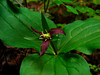 <em>Trillium ovatum</em>, Coast Trillium, native.  <em>Melanthiaceae</em> (False-hellebore family, ex <em>Liliaceae</em>). Cowell Redwoods State Park, Santa Cruz Co., CA  4/13/09  jm2p1397