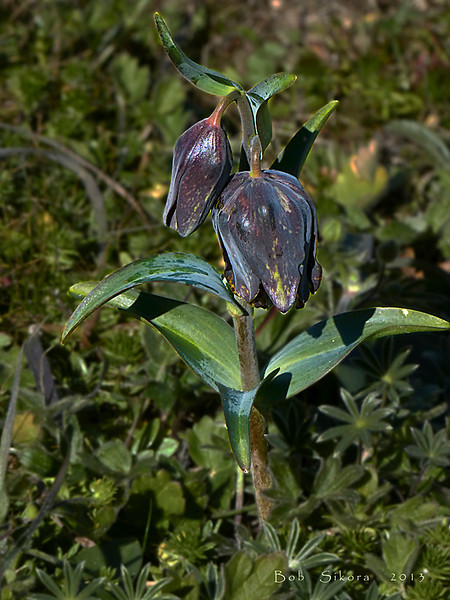 <em>Fritillaria lanceolata var. tristulis,</em> Point Reyes Chocolate Lilly, Marin Checker Lily, native.  <em>Liliaceae</em> (Lily family). Point Reyes, Point Reyes National Seashore, Marin Co., CA,  2013/03/10,  jm2p:  (not shown)